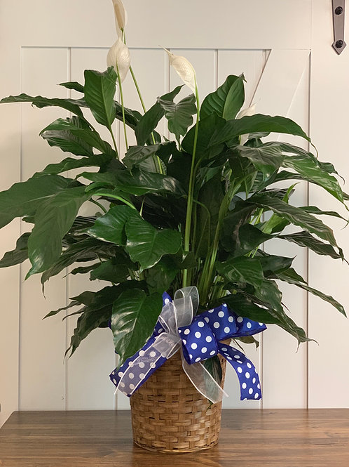 Peace Lily 8 inch