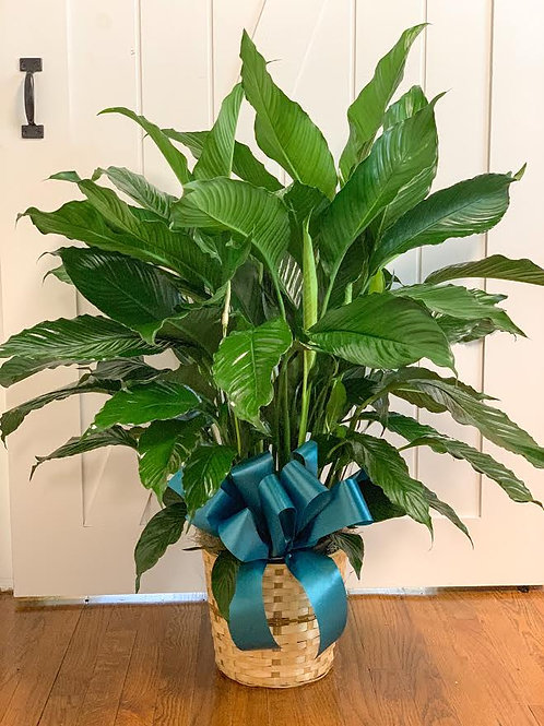 Peace Lily 10 inch