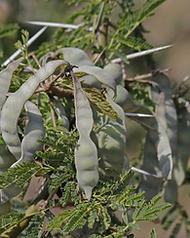 Acacia Arabica.png