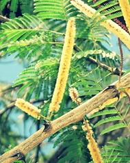 Acacia Catechu.png