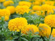 marigolds l.jpg