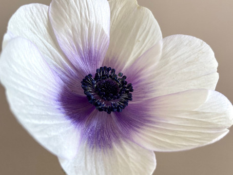 How to care for cut flower Anemones + a greenery garland 'how to' video