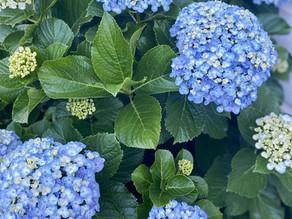 Hydrangea flower care