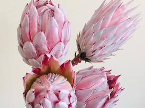 Protea flower care