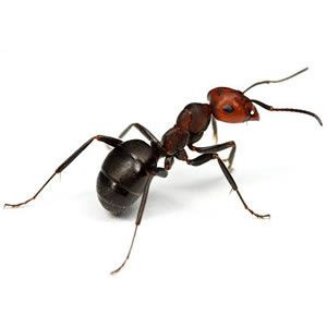 Coastal Brown Ant on a white background