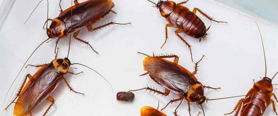 Cockroaches white background all things pest control mackay