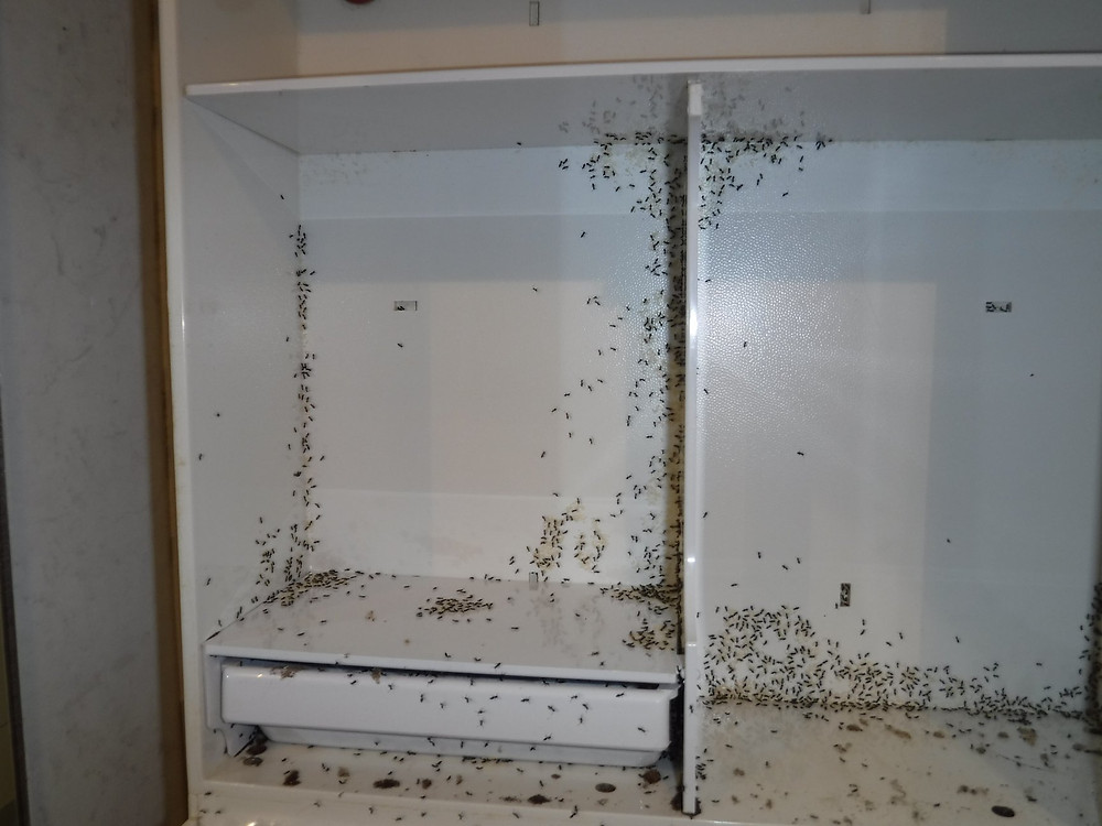 Black ants infesting a white cupboard
