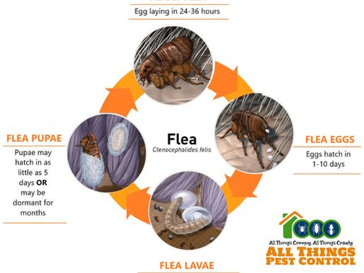 It's Flea Season!