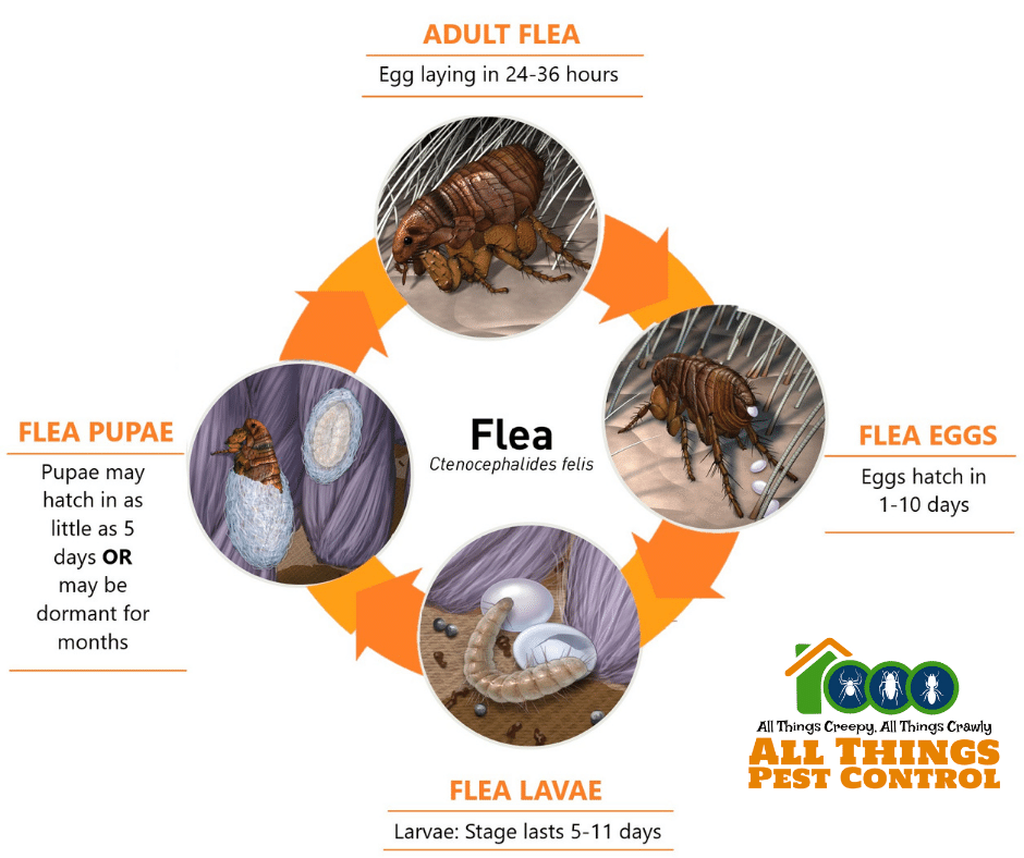 Flea life cycle All Things Pest Control
