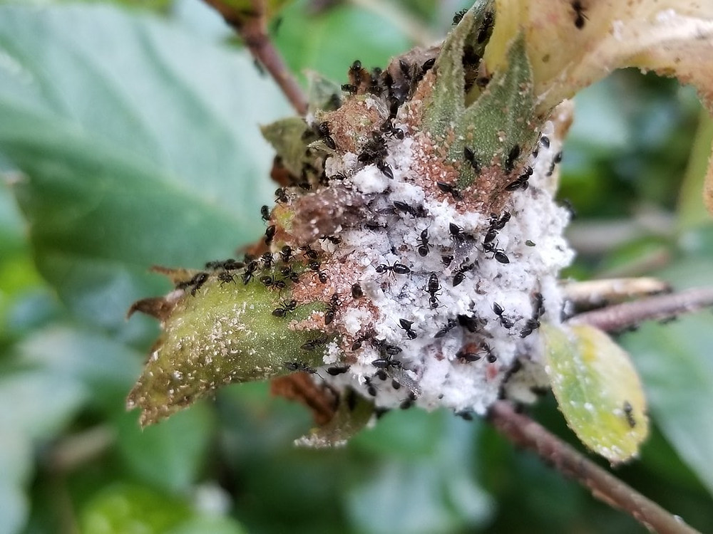 Whitefooted ants tending to aphids for honeydew
