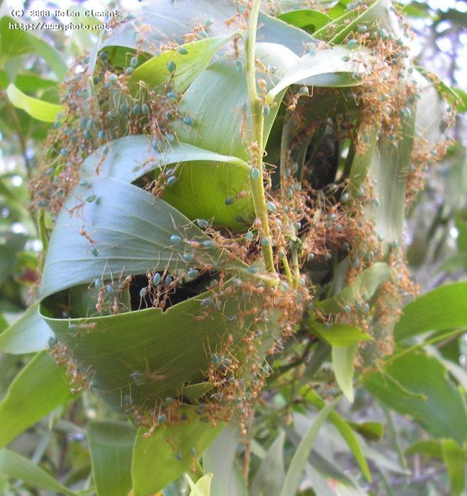Green ant colony rush to defend their nest