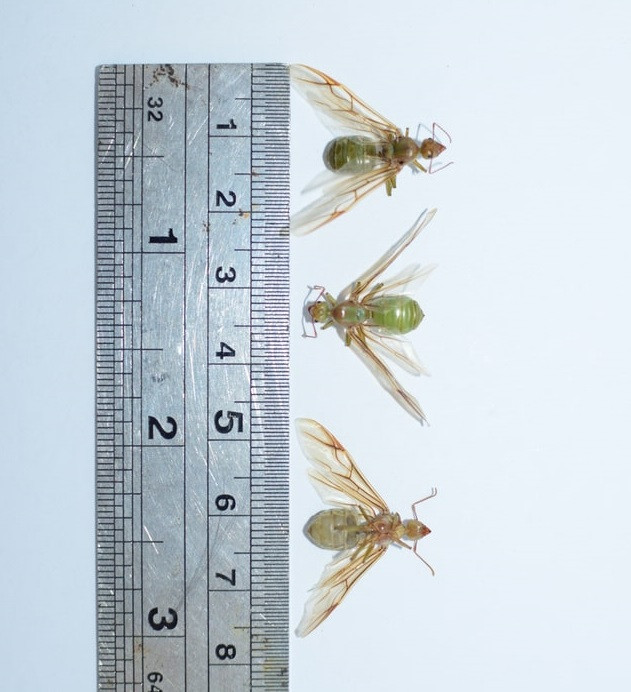 Green Ant Queens wingspan measured beside ruler All Things Pest Control Mackay