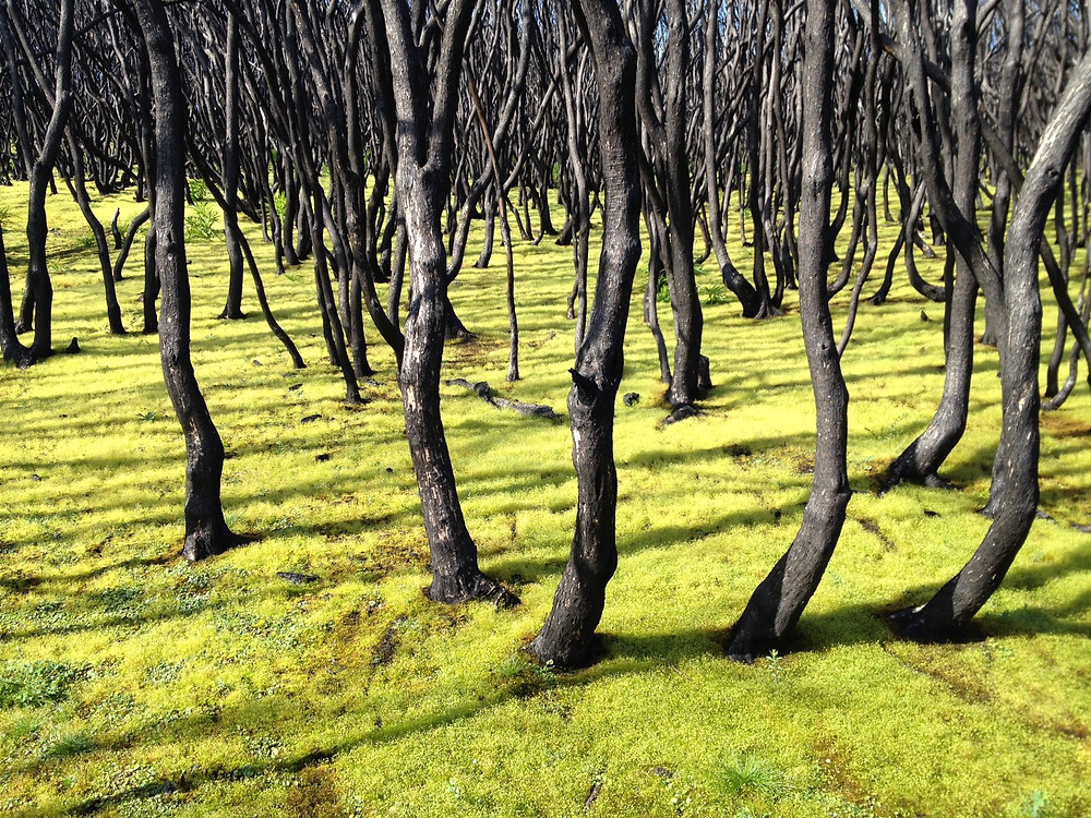 Burnt_Trees_CapeGreen.jpg