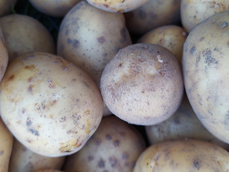 Update for early organic productive potato cultivation!