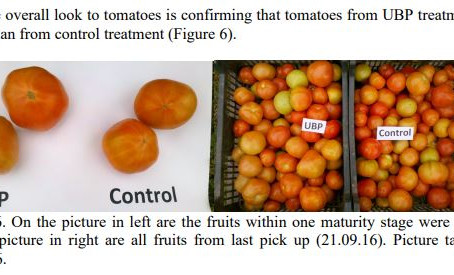 Do You know that UBP-110 can increase the yield of tomatoes?