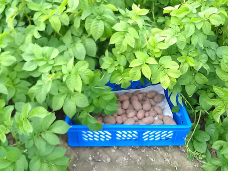 Plant protection tips and tricks in organic potato cultivation.