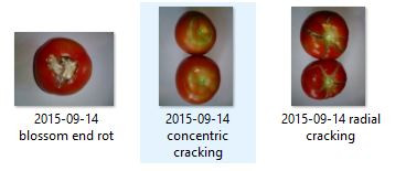 Tomato physiological disorders can damage up to 50% of the production - Find out the solution!