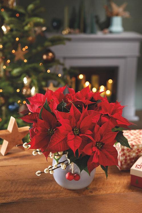 Poinsettia -  Christmas