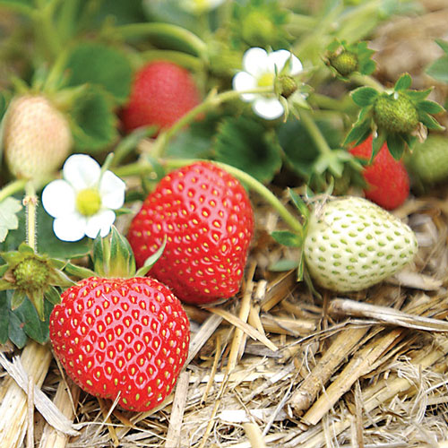 Watsonville strawberries