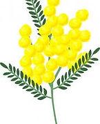 Mimosa (provvisorio).jpg