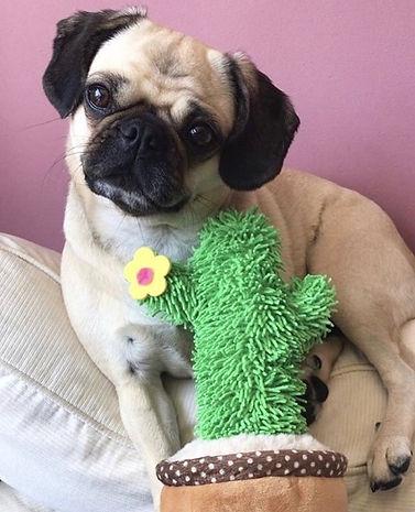 FurBox Pug