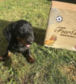 FurBox Dachshund Puppy