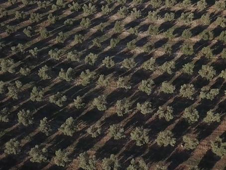 8 razones por las que Jaén es la capital mundial del aceite de oliva