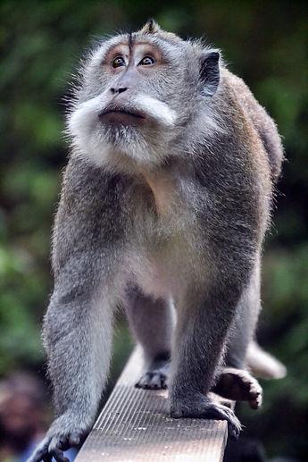 singe_monkey_forest_bali_indonésie.jpg