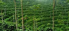 Coffee Plantation.jpg