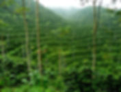 Coffee Plantation.jpg