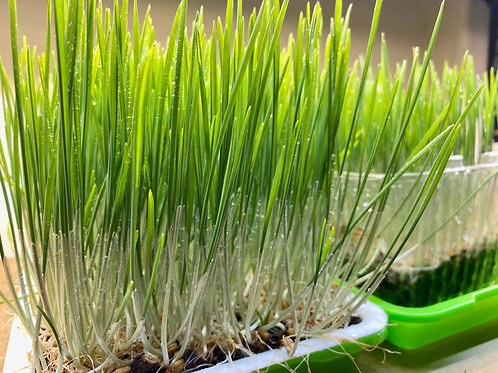 Growing Microgreens Classes - 2 sessions