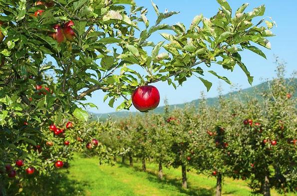 Apples orchard 1.jpg
