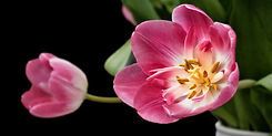 tulip-193354_1280.jpg