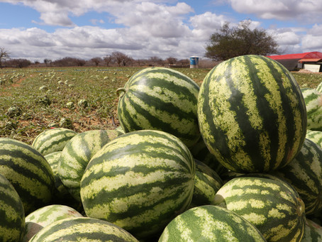 Sertão: 6 toneladas de melancia colhidas em projeto