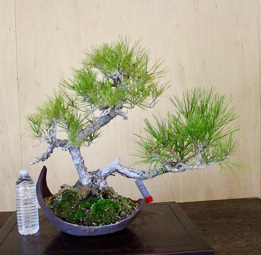 "BP063 J. Black Pine 17"""