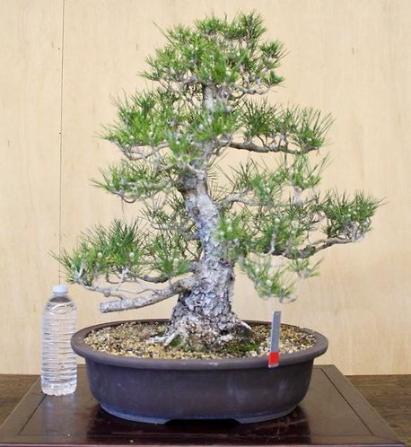 "BP048 J. Black Pine 22"""