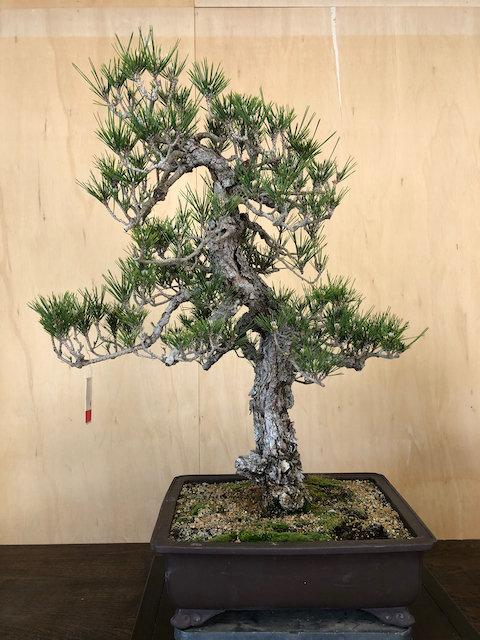 """BP032 Cork Bark Black Pine 29"""""""
