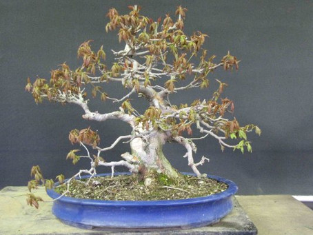 Restarting a Trident Maple