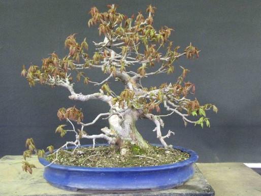 Restarting a Trident Maple