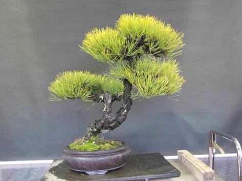 Rebar Basic On Black Pine