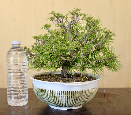 BP026 Kotobuki Black Pine 9""