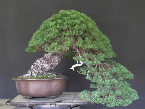 An Old Five Needle Pine goes to show