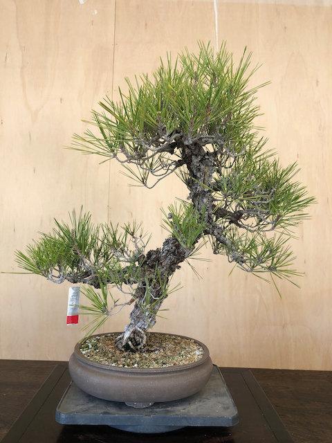 """BP049 Cork Bark Black Pine 25"""""""