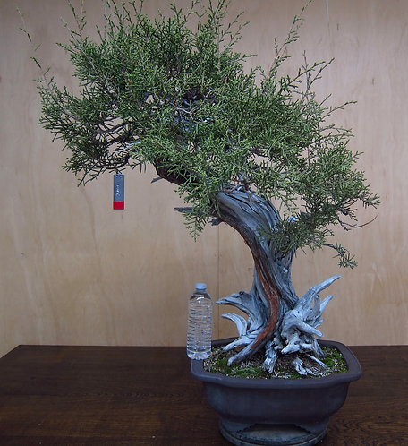 J085 California Juniper 32""