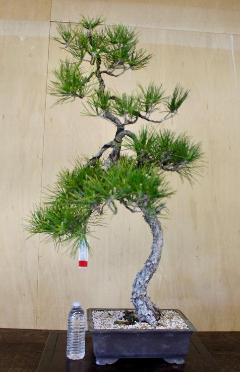 "BP070 J. Black Pine 42"""