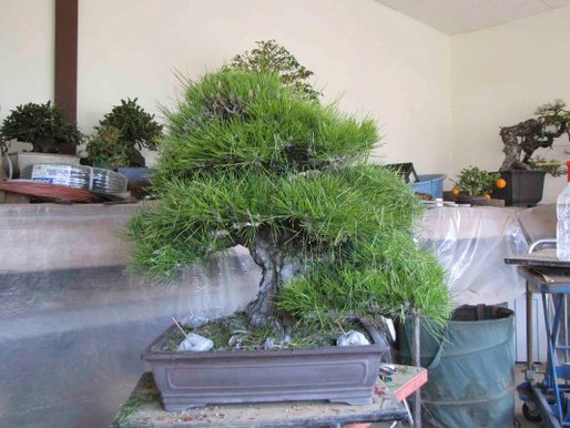 Black Pine Revisited