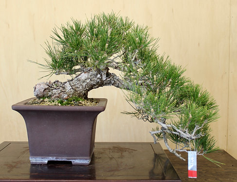 "BP036 J. Black Pine 18"""