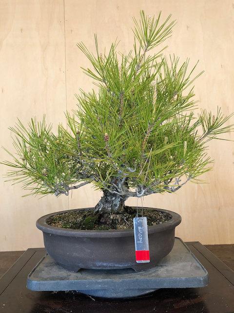 "BP054 J. Black Pine 14"""