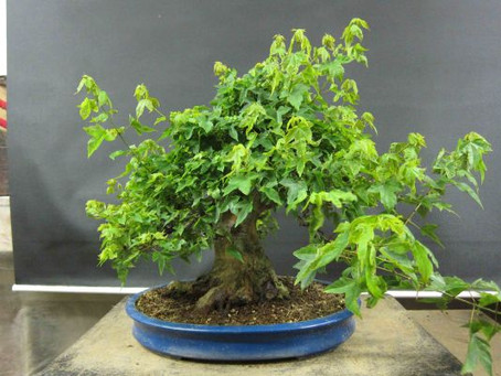 #2 Trident Maple Project (con't)