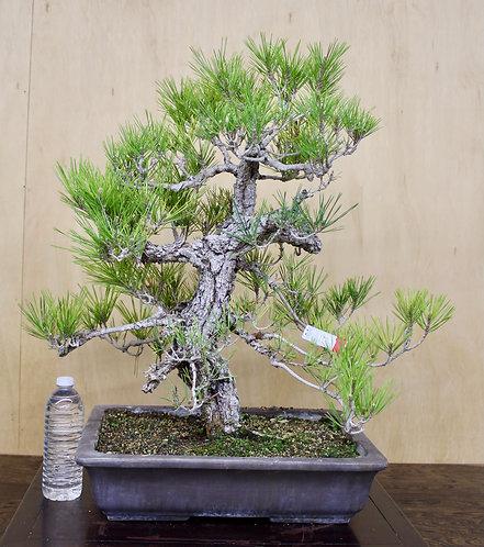 """BP039 Cork Bark Black Pine 27"""""""